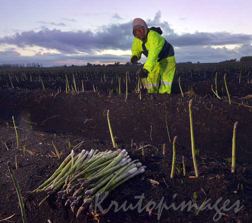 harvesting asparagus early morning