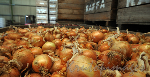 white onions for market